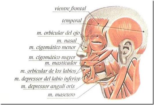 musculos de la cara