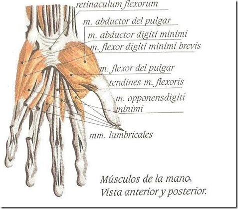 musculos de la mano 2