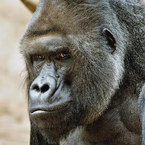 Richardův pohled... by Miloš Stanko - Animals Other Mammals ( gorila, richard )