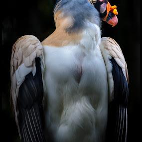 Buitre Real by Sergio Moya - Animals Birds ( bird, real, wild, vulture, condor, nature, clours )