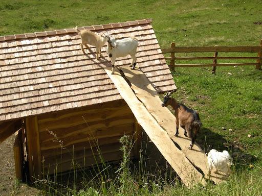 Die Ziegen auf der Karalm beim Besteigen Ihrer Unterkunft