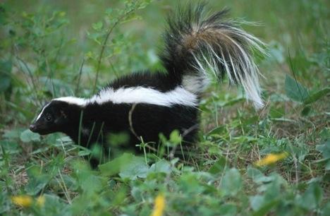 skunk Mekanisme Pertahanan Diri Hewan Yang Dahsyat
