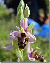 470px-Ophrys_scolopax_ssp_scolopax_b
