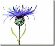 cornflower copy