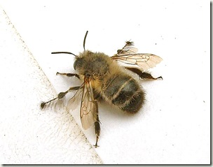 Anthophora_plumipes02