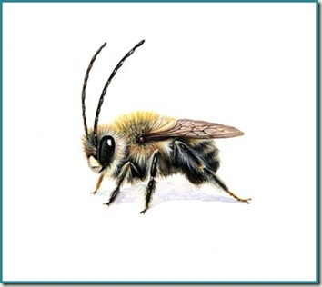 long horned bee sm