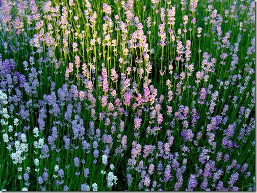 dads lavender
