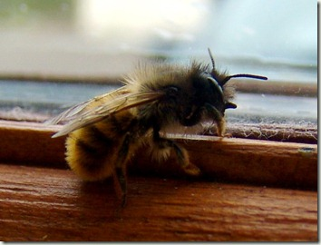 osmia at window