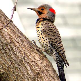 Northern Flicker by Patti Hobbs - Animals Birds ( animals birds northern flicker nature )