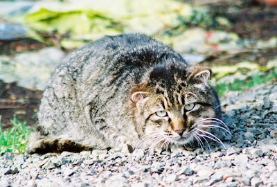 short eared feral cat