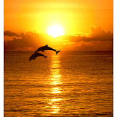 Dolphins in Sunset Wallpaper