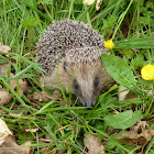 Hedgehog (European)