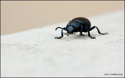 scarabées-4.jpg