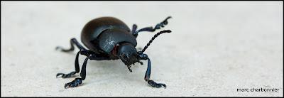 scarabées-6.jpg