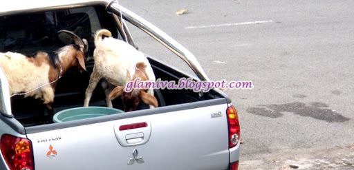 two goats on vehicle four wheel mitsubishi triton to kota belud sabah
