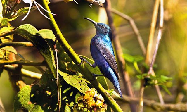 Purple sunbird male