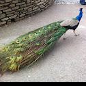 Indian Peacock / Blauer Pfau