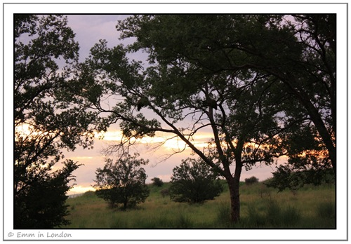 Guinea Fowl in Trees at Sunset