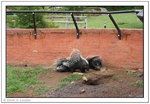 African Crested Porcupines at Emerald Resort Animal World
