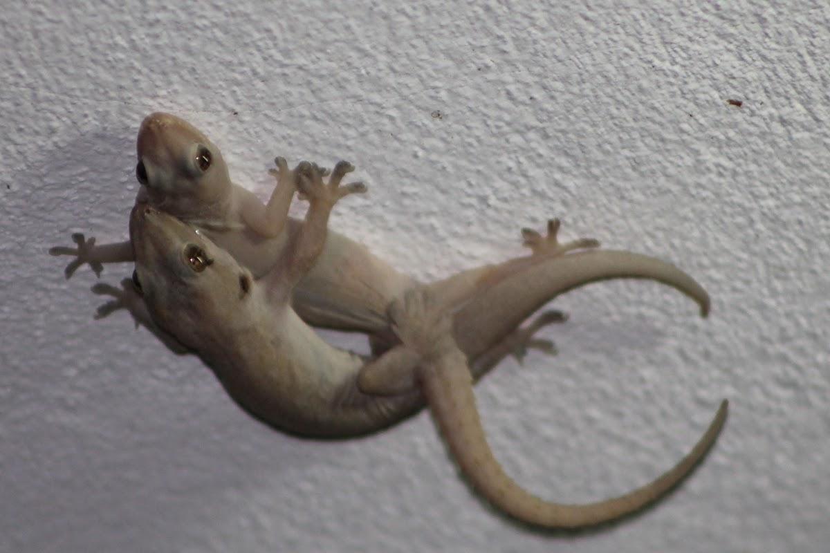 Indo-pacific gecko