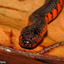 Western Mud Snake