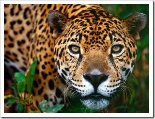 jaguar-brasilia1