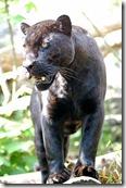 398px-Jaguar-schwarzer-panther-zoologie.de-nk0005