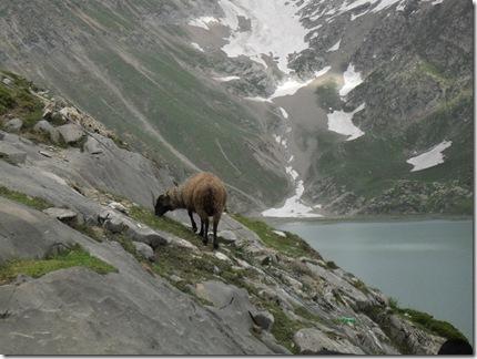 SHEEP AT SHESHNAG
