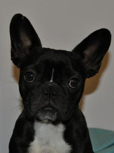 Inne rodzaje Adopcje Buldogów - wątek buldogów do adopcji - Forum o psach OU21