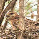 Red Shouldered Hawk ???