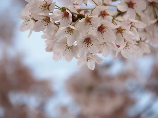 [写真]ソメイヨシノ