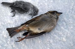 MODIFIED-Dead-Bird2