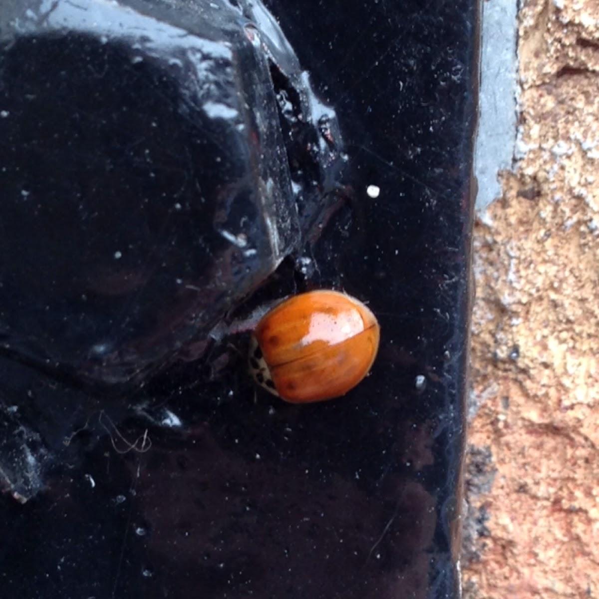 Harlequin ladybird (Божья коровка)