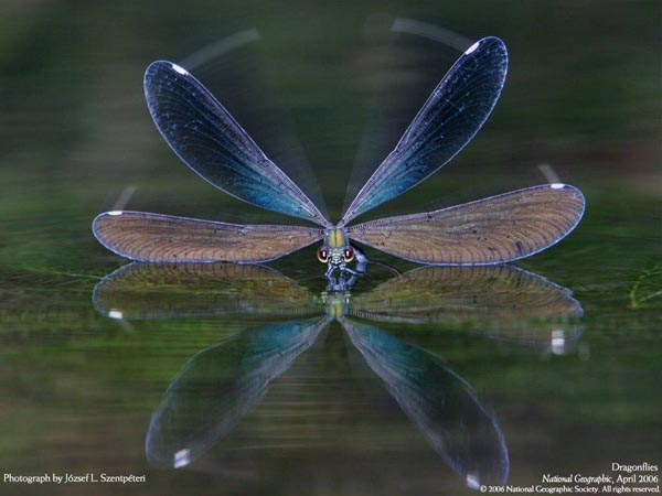 National Geographic - April 2006 - Dragonflies - Photograph by József L Szentpéteri
