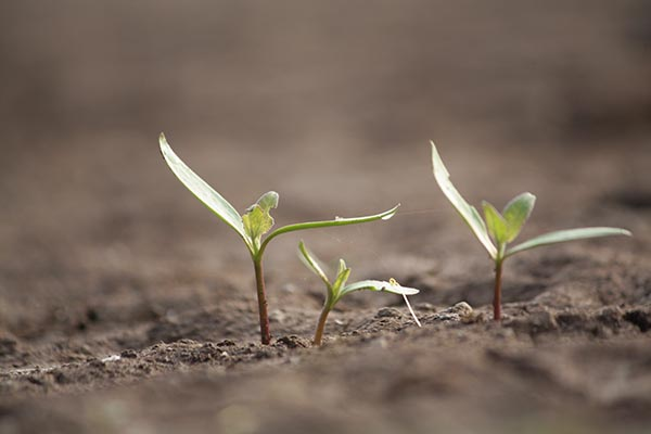 Newborn plants or baby plants or germinating plants in the soils of Veer dam