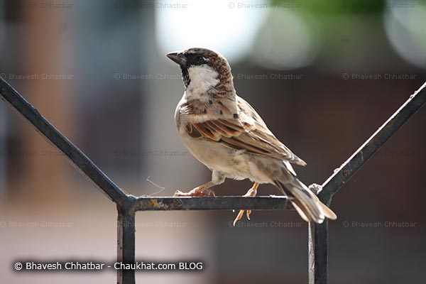 Male sparrow on a window grill
