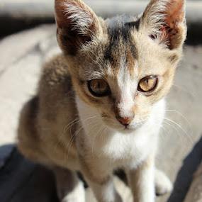 Innocence.... by Pramesh Pokharel - Animals Other ( cat, kitten, innocent, lovely, cute, small )