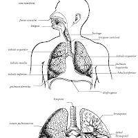 Sistema Respiratorio Para Imprimir Con O Sin Nombre