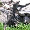 Spiny-tailed Iguana (Mexico)
