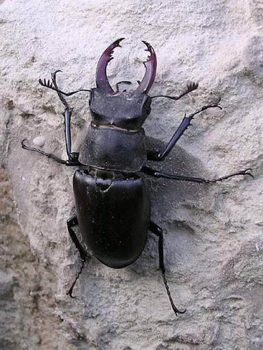 Stag Beetle  le lucane cerf volant  Lucanus cervus   perhaps the most  magnificent of the big European beetles  this is a male  They are locally  common. Days on the Claise  Big Black Beautiful Beetles