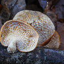 Hexagonal-pored Polypore