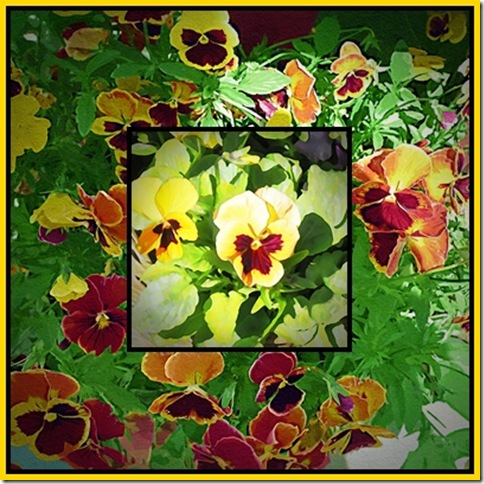 pansy4