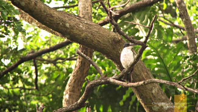 White-Collared Kingfisher at Corregidor