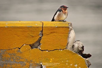 Striated Swallow at Corregidor