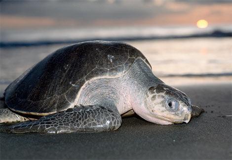 Endangered Species of Sea Turtles - olive ridley