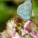 Holly Blue (male)