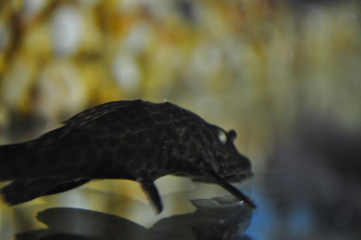 Pleco eye update and skirt tetra eyes - Aquarium Forum
