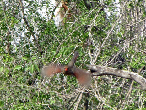 Northern-Cardinal-in-flight