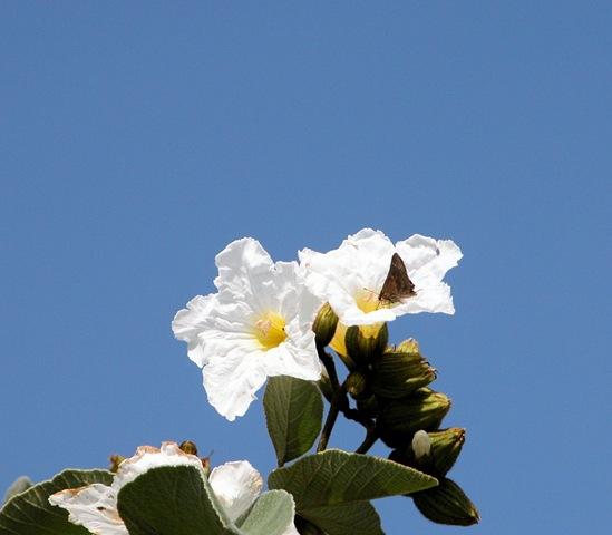 [mexican oilve buttefly[3].jpg]
