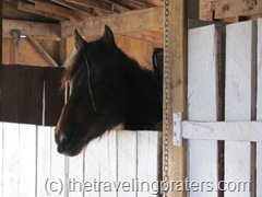 horse looking out of his stall